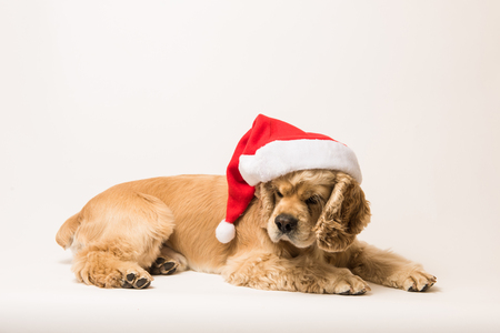 American cocker spaniel with Santas cap lyingon on white background. Side view.
