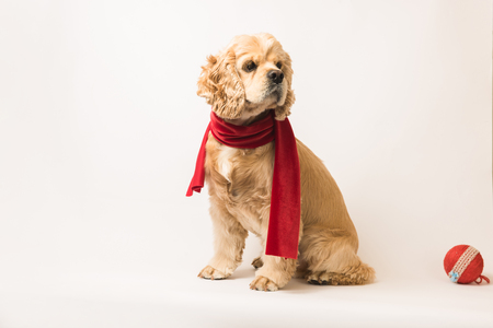 American cocker spaniel in a red scarf on white background. The dog sits, side view. Red christmas ball near dog. Stock Photo
