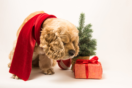 American cocker spaniel in a red scarf sniffing festive gift box on white background. The dog sits, side view. Red christmas tree and near dog.