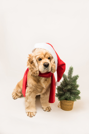 American cocker spaniel with Santas cap and a red scarf on white background. The dog sits, top shot. Red christmas tree near dog. Stock Photo