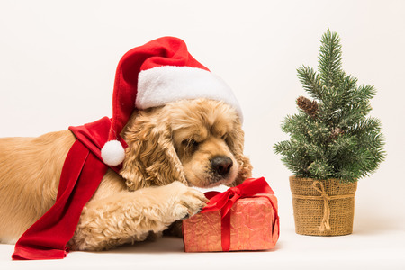 American cocker spaniel with Santas cap and a red scarf gnaws gift box on white background. Red christmas tree near dog.