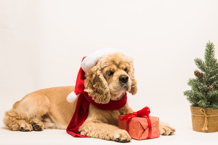 American cocker spaniel on white background Stock Photo