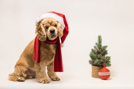 American cocker spaniel with Santas cap and a red scarf on white background. The dog sits, look at the camera. Red christmas tree and ball near dog. Stock Photo