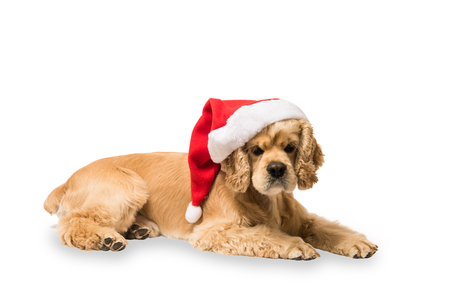 American cocker spaniel with Santas cap lyingon in front of white background, studio shot. Look at the camera.
