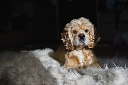 Portrait of a lying American cocker spaniel. Dark background Stock Photo
