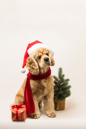 American cocker spaniel with Santas cap and a red scarf on white background. Dog sits.