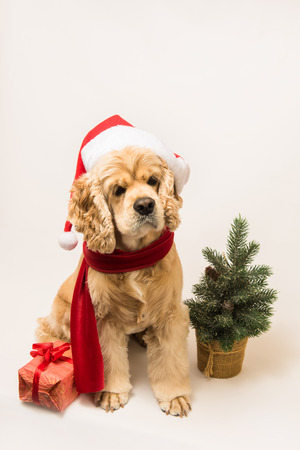 cocker: American cocker spaniel with Santas cap and a red scarf on white background. Dog sits. Gift box and Christmas tree near dog.