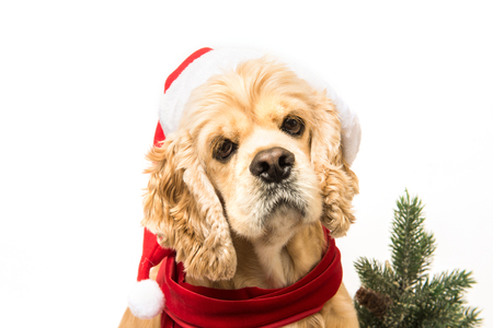 Close-up of American cocker spaniel with Santas cap and a red scarf on white background. Stock Photo