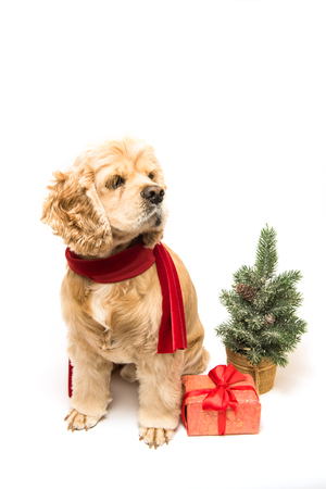 cocker: American cocker spaniel with a red scarf on white background. Gift box and Christmas tree near dog.