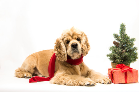 cocker: American cocker spaniel with a red scarf on white background. Red christmas tree and festive gift box near dog. Lying dog, side view. Stock Photo