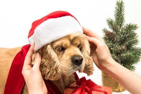 Woman puts Santas hat on his American cocker spaniel. White background. Close-up. Christmas tree near dog. Stock Photo