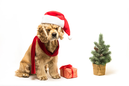 American cocker spaniel with Santas cap and a red scarf on white background. Gift box and Christmas tree near dog.