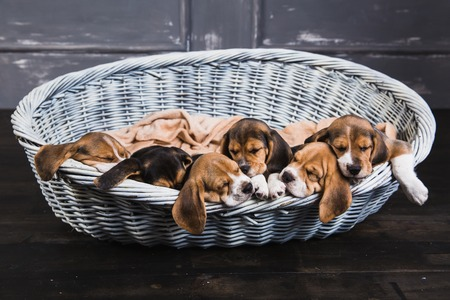 Little beagles sleep on each other in big basket and their ears swing from it Stock Photo