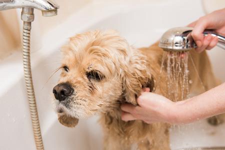 A dog taking a shower. American cocker spaniel in bathroom.