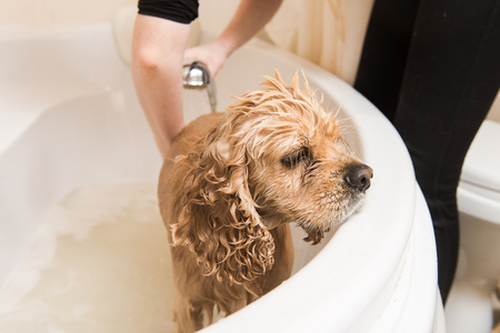Grumer washes the dog with foam and water. The dog is close up