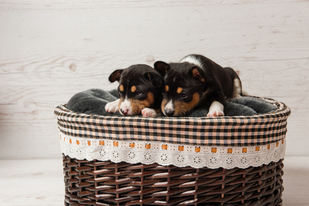 Couple of little dogs laying at light wooden background.