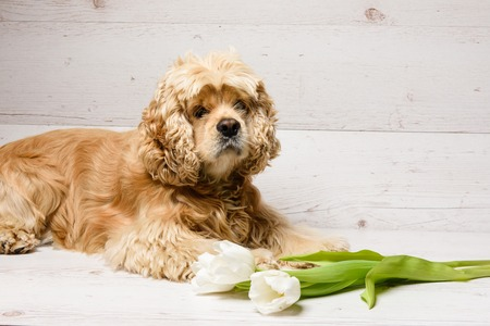 American cocker spaniel with bouquet of tulips on a wooden background