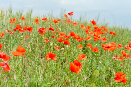 Field of red poppy flowers and green grass Reklamní fotografie