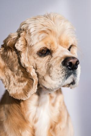 Studio portrait of handsome cocker spaniel dog