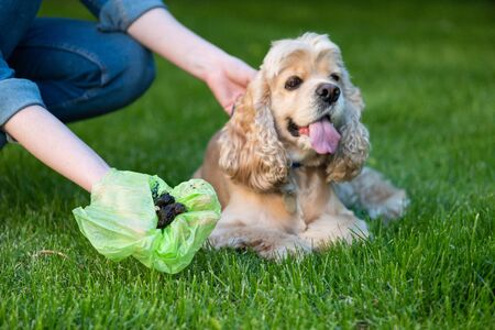 Woman clean shit after cocker spaniel in park Stockfoto - 128615586