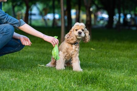 Woman clean shit after cocker spaniel in park Stockfoto - 128615592