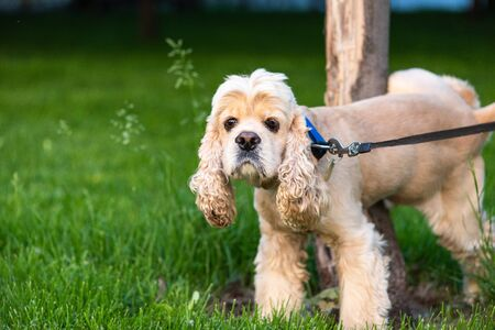 American cocker spaniel with collar peeing on a tree