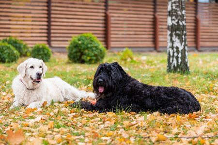 Two dogs are lying on yellow foliage in backyard. Autumn background.