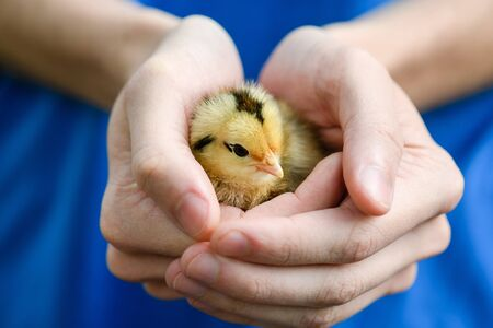 Woman in blue dress hold small cute yellow newborn baby chicken hen in hands, warming up, farm birds 스톡 콘텐츠