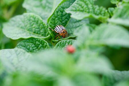 Colorado striped bug move on potato leaf Stock fotó