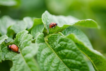 Small red colorado bug on potato leaves