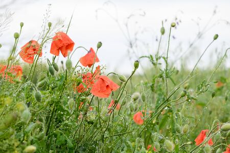 Field meadow of grass and red orange poppies flowers after rain with fresh water drops on buds, summer spring nature background
