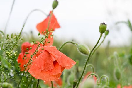Raining nature floral background with closed poppy flower bud with heavy rain water drops at beautiful meadow