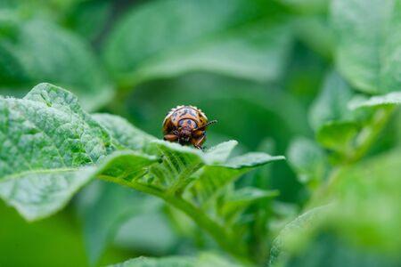 Macro of colorado beetle eating potato leaf Stock fotó