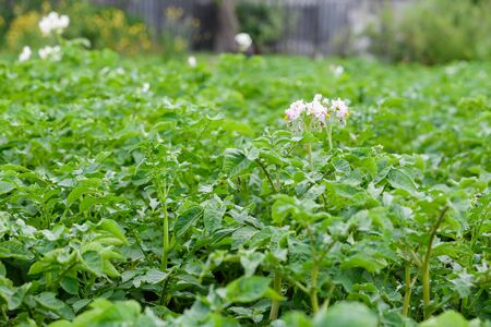 Green fresh potato plantation with flowers bloom