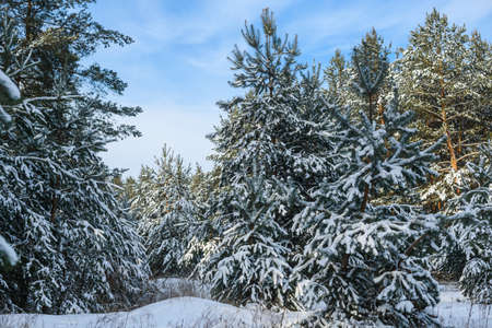 Fir pine snowy trees at winter forest