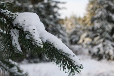 Close up snow on fir tree branch