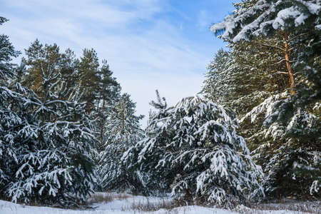 Heavy snow on fir pine tree branches