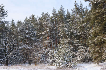 Nature landscape with pine trees in snow 스톡 콘텐츠