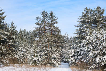 Winter landscape with fir trees in forest