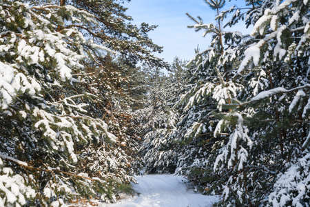 Winter forest winding narrow road between trees