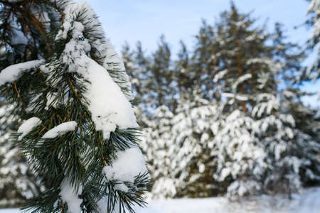 Close up fir tree branch covered with heavy snow at scenic cold forest nature background during sunny day