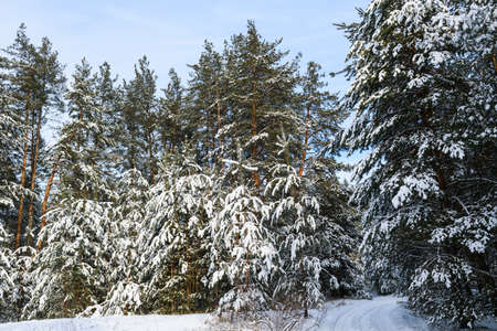 Forest landscape with snow on pine trees 스톡 콘텐츠