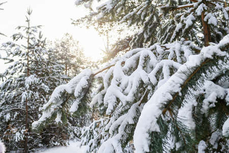 Magic forest fir tree branches with snow 스톡 콘텐츠