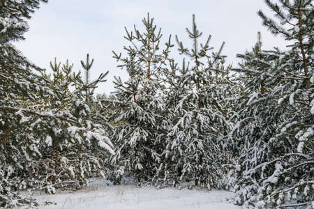 Winter forest snowy background with fir trees 스톡 콘텐츠