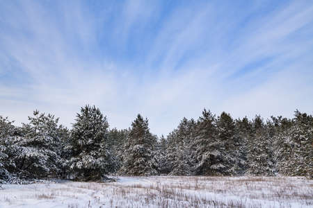 Winter landscape with fir trees and snow