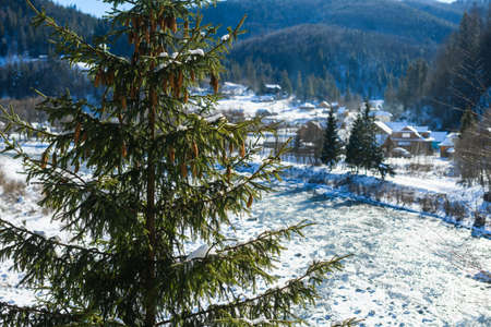 Beautiful winter view of village forest in Carpathian mountains with fir pine tree full of cones foreground at sunny day 스톡 콘텐츠
