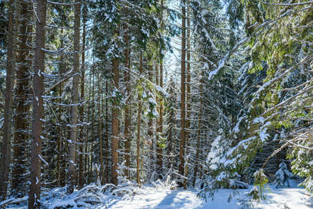 Beautiful view of winter sunny forest with small and big trees covered in snow, natural background pattern 스톡 콘텐츠