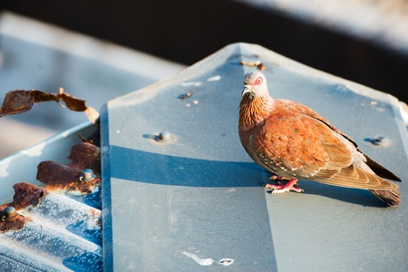 turtle dove: South African turtle dove on old roof