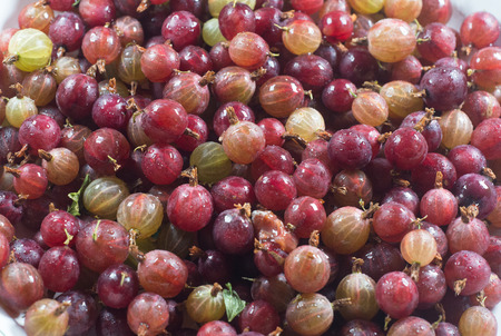 Amazing top view berries of a gooseberry Gooseberry harvest