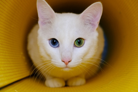 White cat with different color eyes in yellow tube Standard-Bild - 104107010